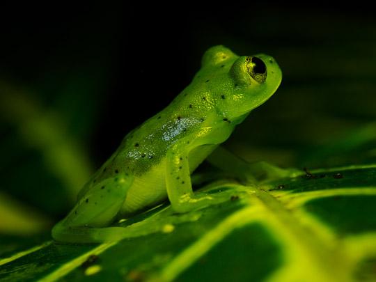 Olympus FL-600r flash tree frog