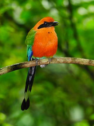 Motmot Costa Rica