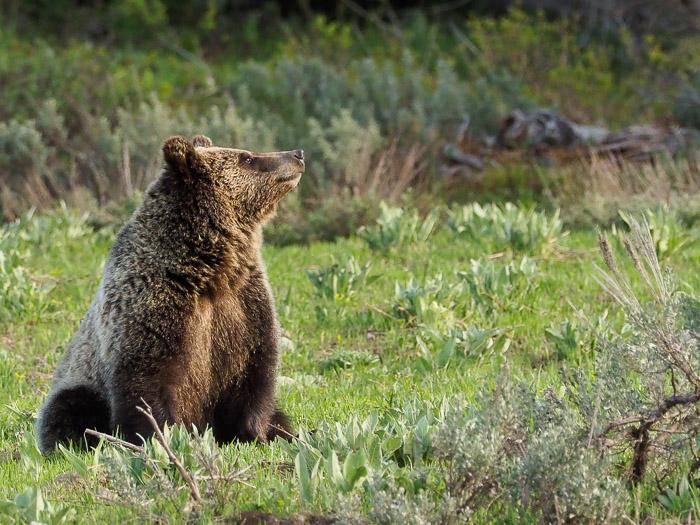 Grand Tetons Spring Wildlife Workshop. June 2021